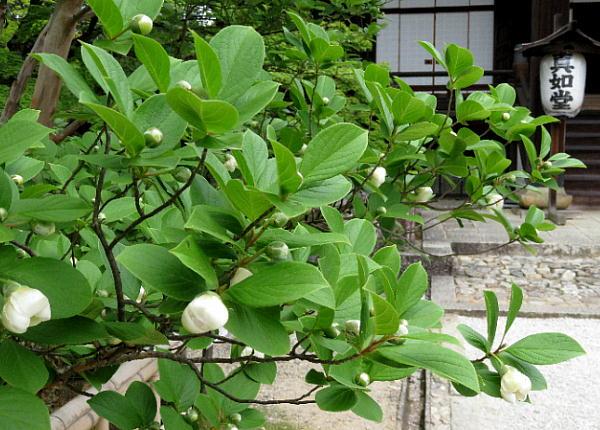 沙羅の木、真如堂