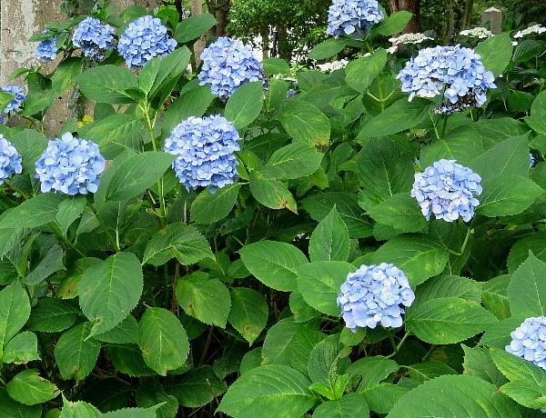紫陽花、藤森神社