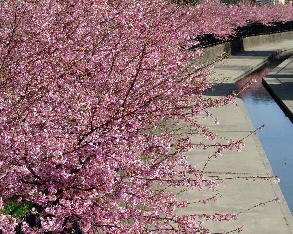 淀、河津桜