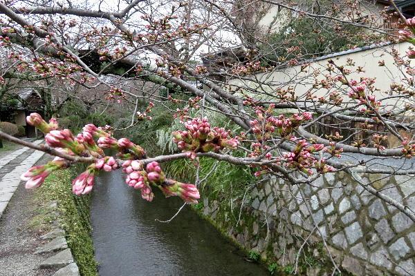 桜、哲学の道