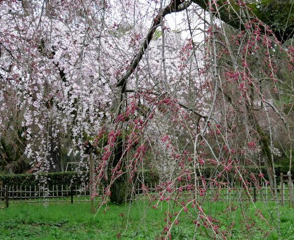 京都御苑、糸桜
