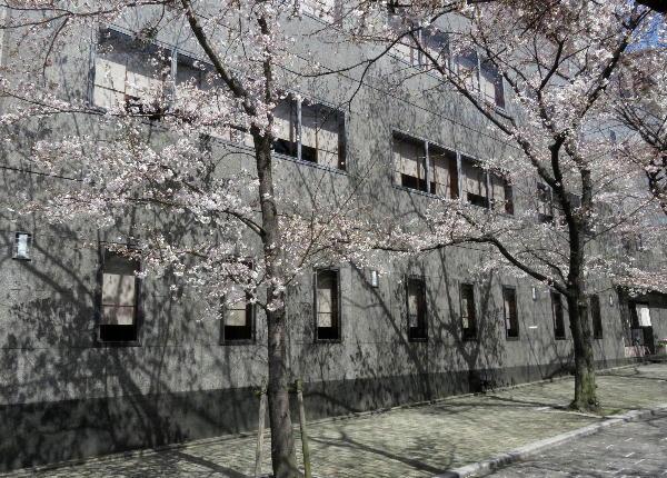 桜、祇園白川