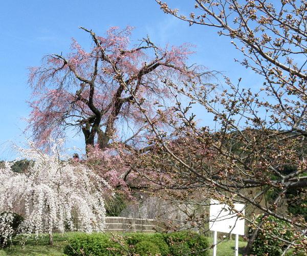 桜、円山公園