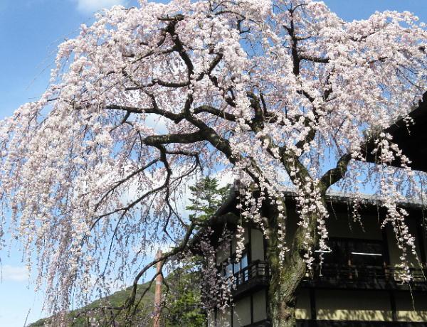 桜、三年坂