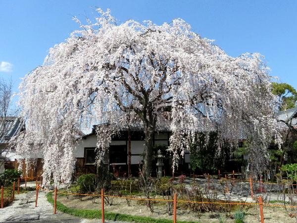 桜、本満寺