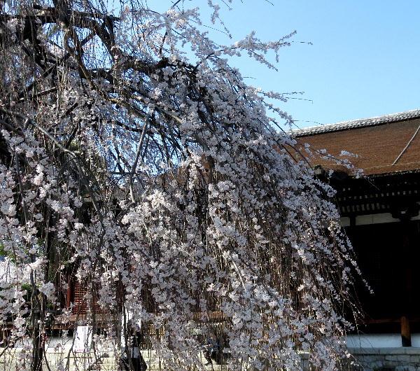 桜、千本釈迦堂