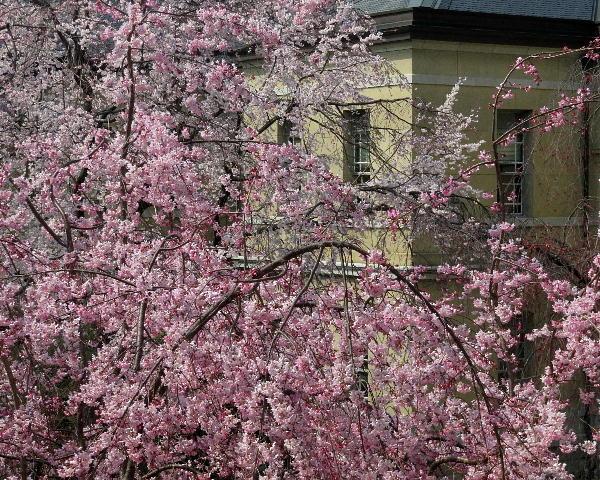 桜、府庁旧本館