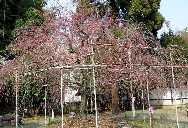 桜、平野神社