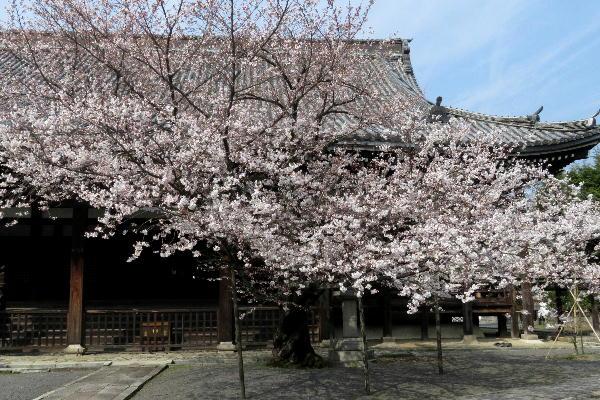 桜、本法寺