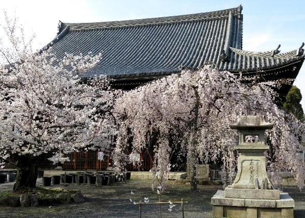 桜、立本地
