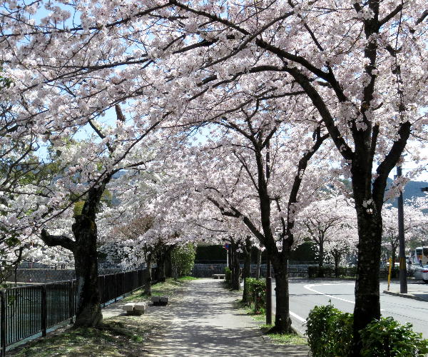 桜、岡崎疎水