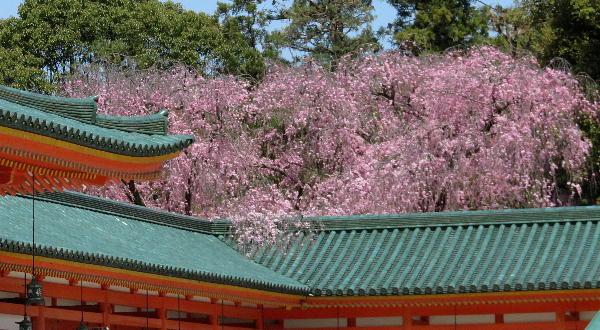 桜、平安神宮
