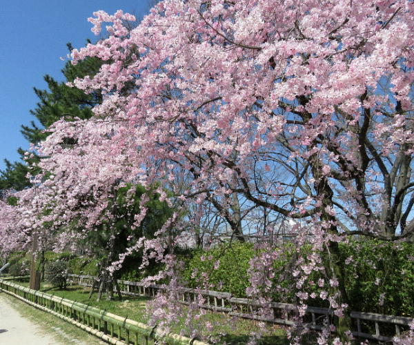桜、半木の道