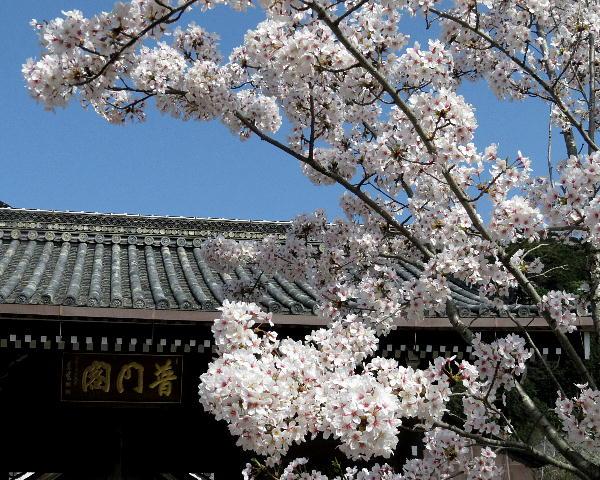桜、清水寺