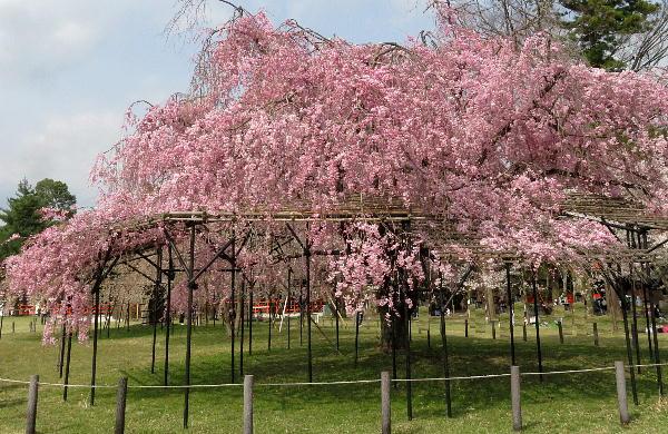 桜、上賀茂神社