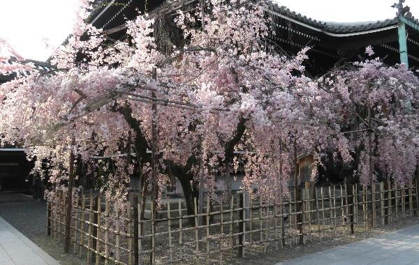 桜、仏光寺