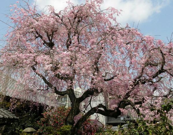 桜、地蔵院
