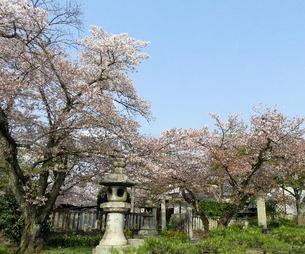 桜、真如堂