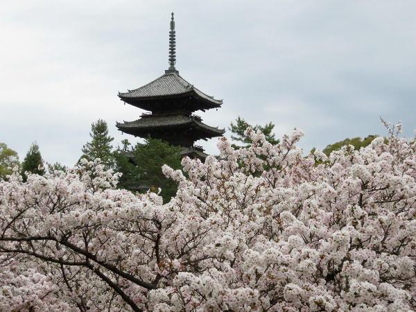 桜、御室桜