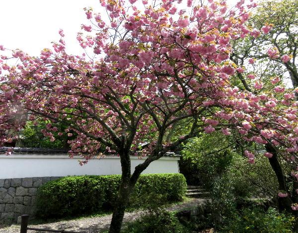 哲学の道の八重桜