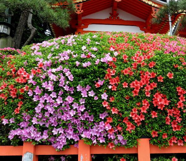 八坂神社、サツキ