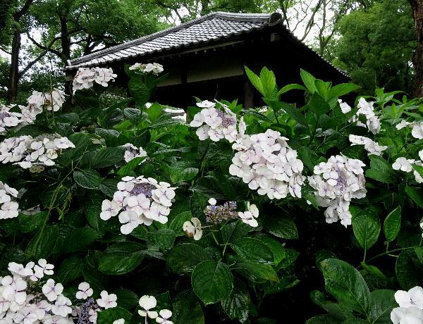 藤森神社、アジサイ