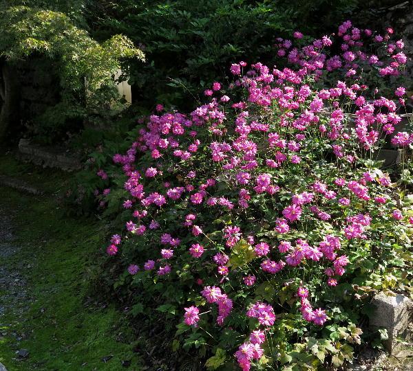 真如堂の秋明菊
