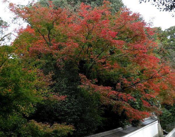知恩院、紅葉状況