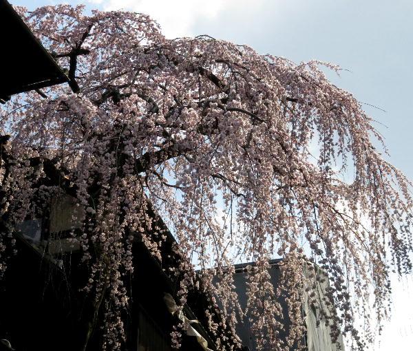 三年坂、枝垂桜