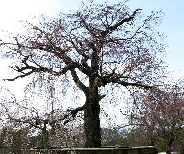 円山公園、枝垂桜