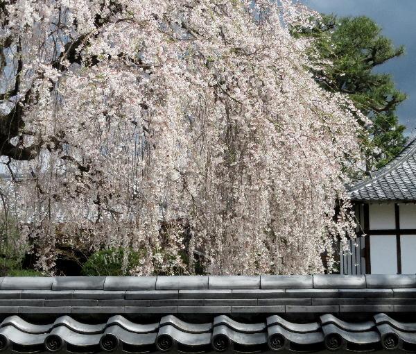 本満寺、桜