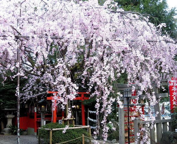 水火天満宮、紅枝垂桜