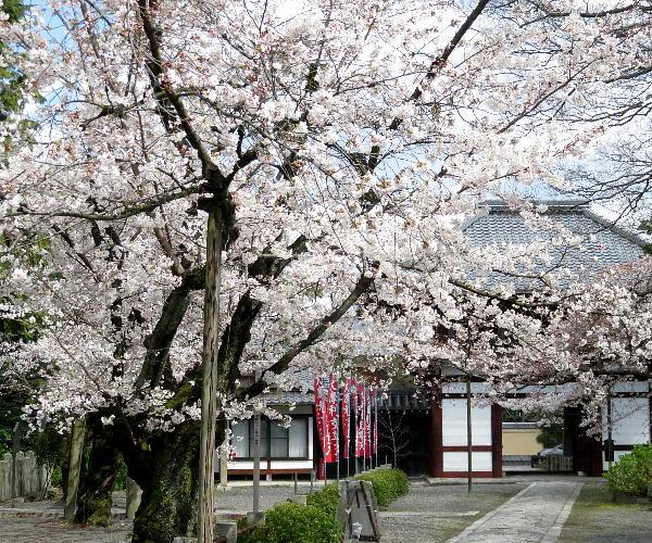 本法寺、桜