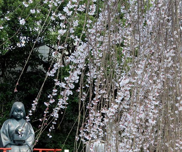 千本釈迦堂、阿亀桜