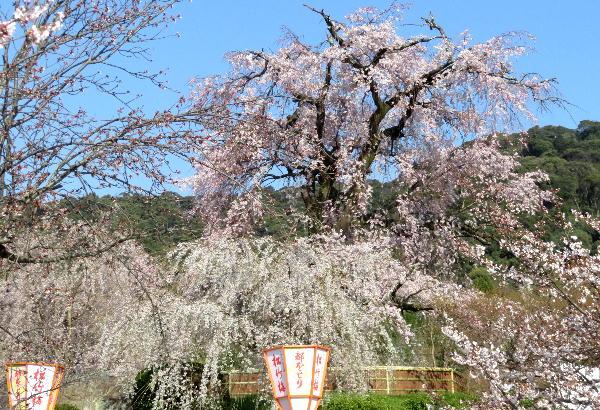円山公園、桜