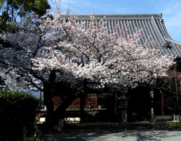 真如堂、桜
