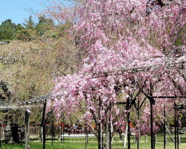 上賀茂神社、桜