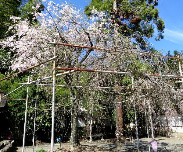 平野神社、桜
