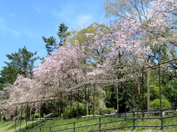 半木の道、桜