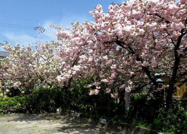 千本ゑんま堂,、桜