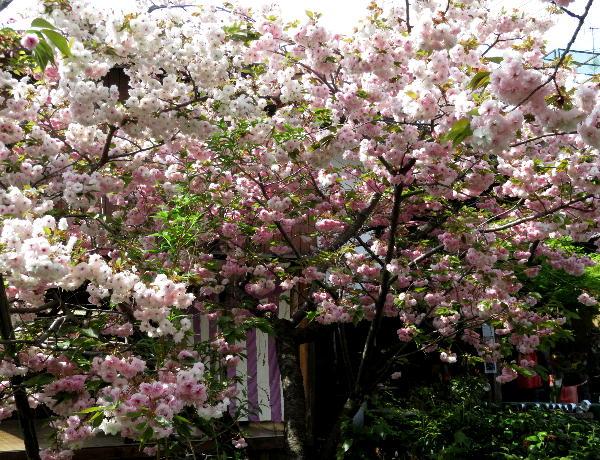 千本ゑんま堂の桜