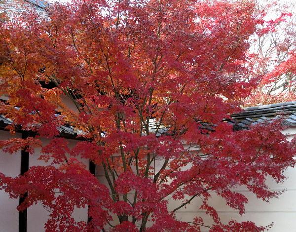 妙覚寺、紅葉