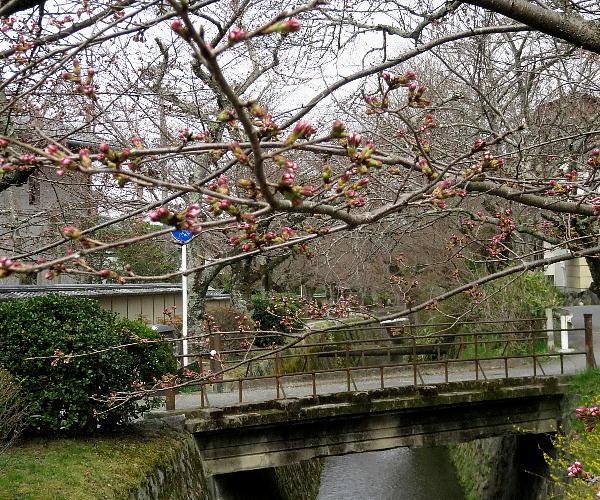 哲学の道、桜