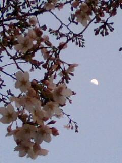 桜に上限の月