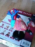 心臓のモデル