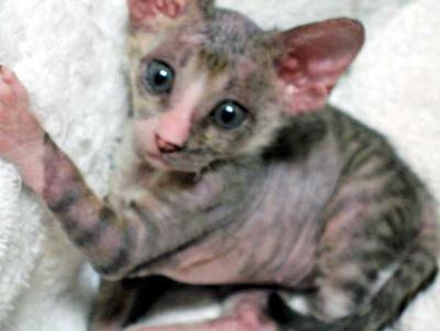 LALA CAT