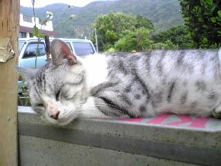 渡嘉敷の猫