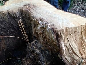木の空洞の自然巣2.jpg