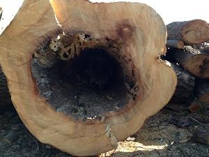 木の空洞の自然巣3.jpg