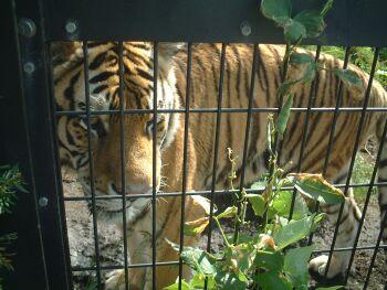虎が案外可愛い